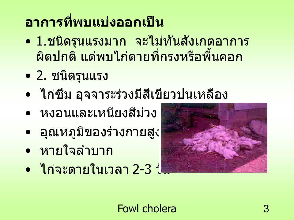 Fowl cholera3 อาการที่พบแบ่งออกเป็น 1. ชนิดรุนแรงมาก จะไม่ทันสังเกตอาการ ผิดปกติ แต่พบไก่ตายที่กรงหรือพื้นคอก 2. ชนิดรุนแรง ไก่ซึม อุจจาระร่วงมีสีเขีย