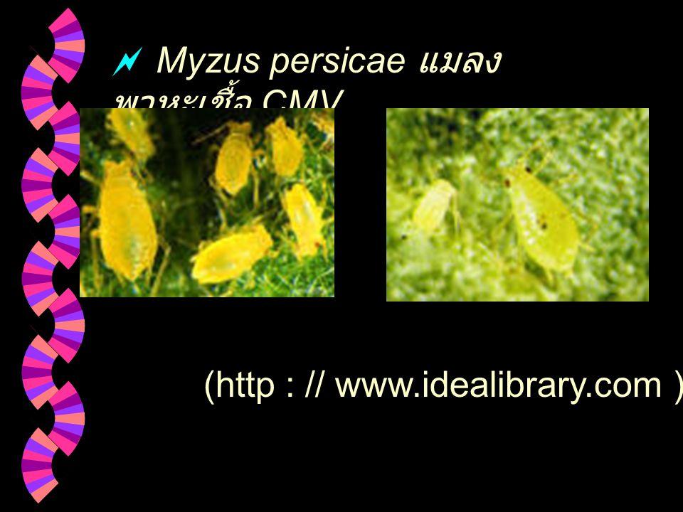 การถ่ายทอดเชื้อ CMV มีเพลี้ยอ่อนเป็นแมลงพาหะและกลไกการ ถ่ายทอดประเภท non - persistent ลักษณะการถ่ายทอด เพลี้ยอ่อนจะเกาะบนใบพืชที่ติดเชื้อ CMV ใช้ stylet ทิ่มแทงลงไปในใบ พืชแล้วถอนออก โดยปกติจะใช้เวลา น้อยกว่า 30 วินาที เพื่อชิมพืชที่ติด เชื้อจะทำให้ไวรัสติดไปกับปลาย stylet เมื่อเพลี้ยอ่อนดูดกินพืชต้น ใหม่ทำให้พืชได้รับการถ่ายทอดไวรัส