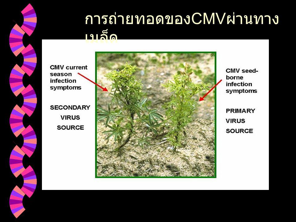  Myzus persicae แมลง พาหะเชื้อ CMV (http : // www.idealibrary.com )