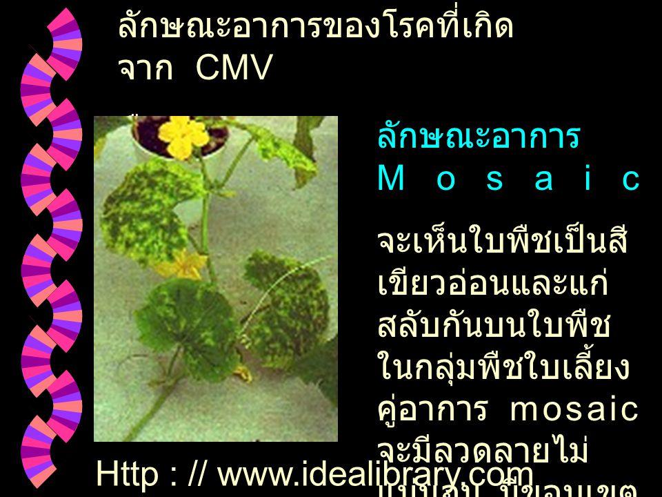 ลักษณะอาการของโรคที่เกิด จาก CMV พืชตระกูลแตง ลักษณะอาการ Mosaic จะเห็นใบพืชเป็นสี เขียวอ่อนและแก่ สลับกันบนใบพืช ในกลุ่มพืชใบเลี้ยง คู่อาการ mosaic จะมีลวดลายไม่ แน่นอน มีขอบเขต การด่างที่เห็นได้ ชัดเจน Http : // www.idealibrary.com