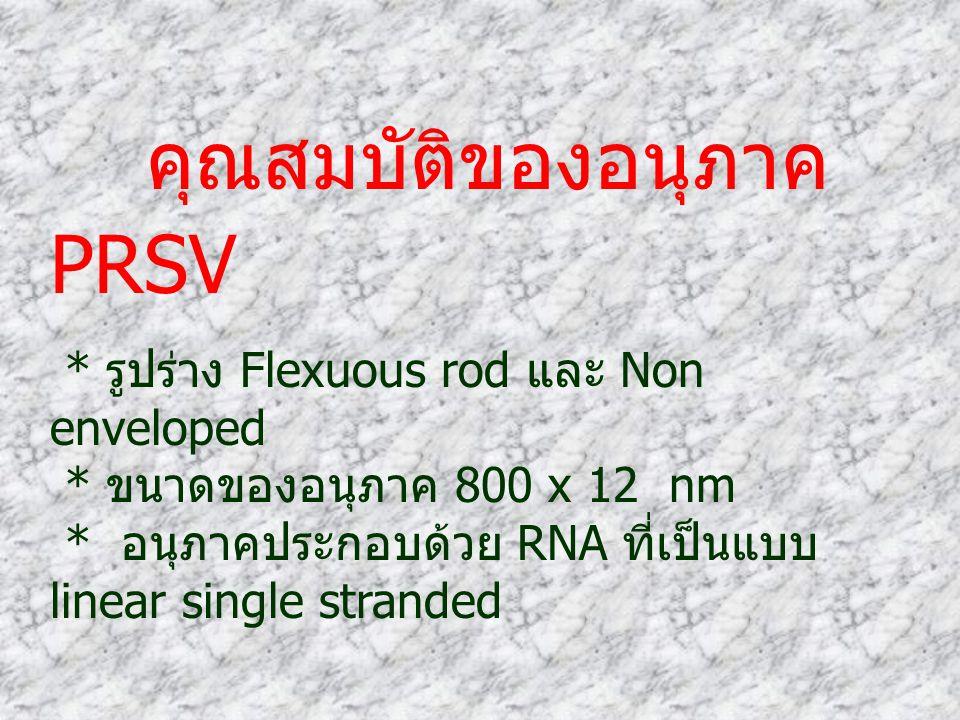 คุณสมบัติของอนุภาค PRSV * รูปร่าง Flexuous rod และ Non enveloped * ขนาดของอนุภาค 800 x 12 nm * อนุภาคประกอบด้วย RNA ที่เป็นแบบ linear single stranded
