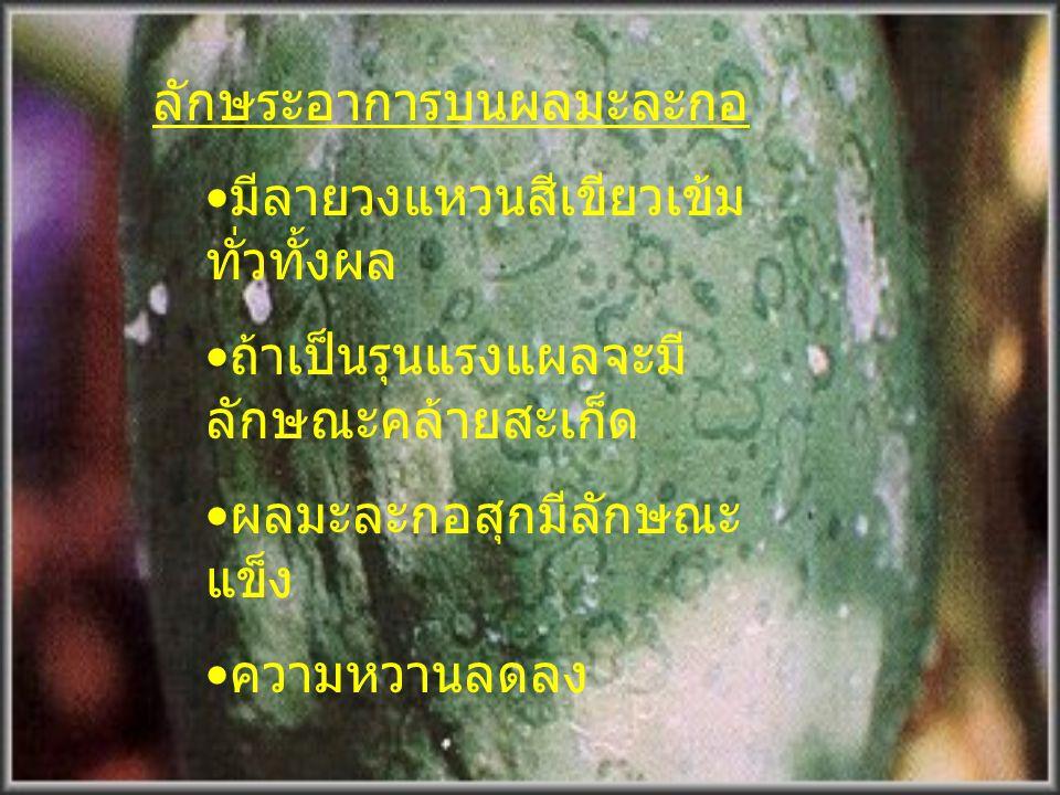 ลักษณะแผลที่ก้านใบ เป็นจุด หรือทางยาวสีเขียวเข้มของ ก้านมะละกอที่เป็นโรค ลำต้นเป็นโรคจุดวง แหวนมีลายชุ่มน้ำ อาการจุดวงแหวน ด้านใต้ใบ ของมะละกอที่เป็นโ