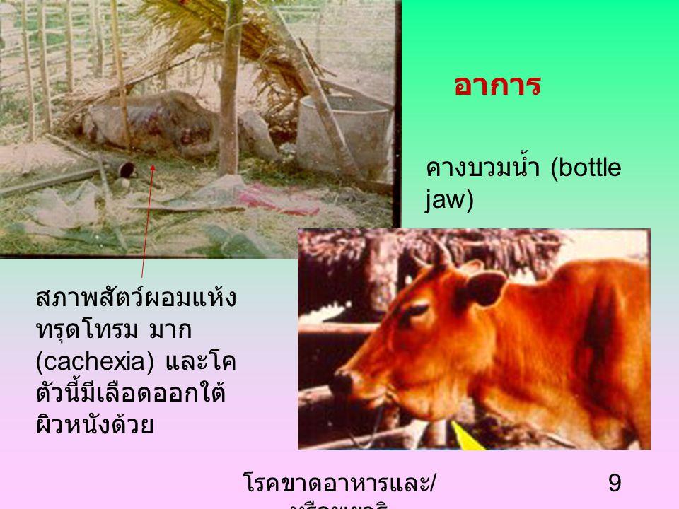 โรคขาดอาหารและ / หรือพยาธิ 9 คางบวมน้ำ (bottle jaw) สภาพสัตว์ผอมแห้ง ทรุดโทรม มาก (cachexia) และโค ตัวนี้มีเลือดออกใต้ ผิวหนังด้วย อาการ