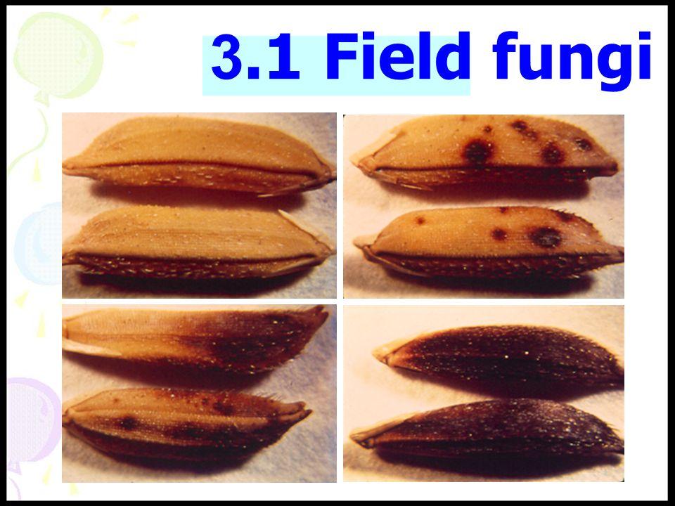 Asper gillus Penicil ium Fusari um Asper gillus Penicil ium Fusari um 3.2 Storage fungi พบมากขึ้นเมื่อเก็บนาน สามารถสร้างสาร พิษที่เป็นอันตรายต่อสัตว์ เลี้ยงลูกด้วยนม พบมากขึ้นเมื่อเก็บนาน สามารถสร้างสาร พิษที่เป็นอันตรายต่อสัตว์ เลี้ยงลูกด้วยนม