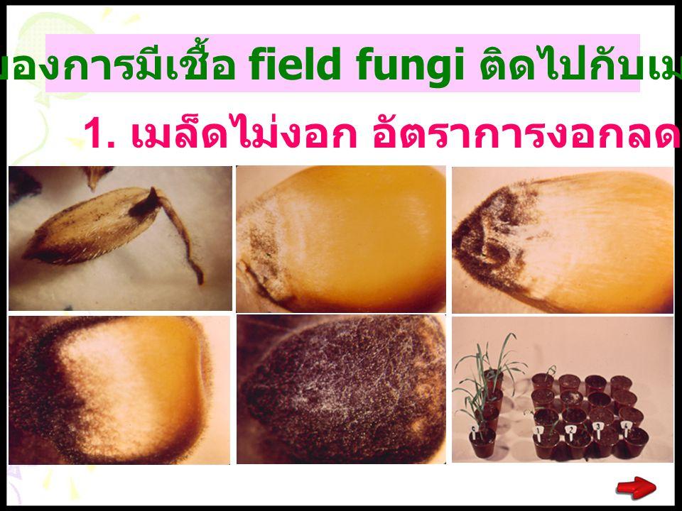 ผลเสียของการมีเชื้อ field fungi ติดไปกับเมล็ดพันธุ์ 1. เมล็ดไม่งอก อัตราการงอกลดลง