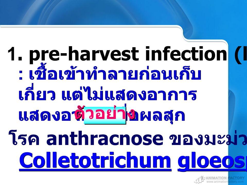 โรค anthracnose ของมะม่วง มะละกอ ฝรั่ง 1. pre-harvest infection (latent infection) : เชื้อเข้าทำลายก่อนเก็บ เกี่ยว แต่ไม่แสดงอาการ แสดงอาการเมื่อผลสุก