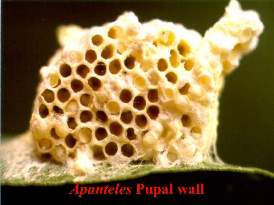 Apanteles cacoeciae: pupal cases
