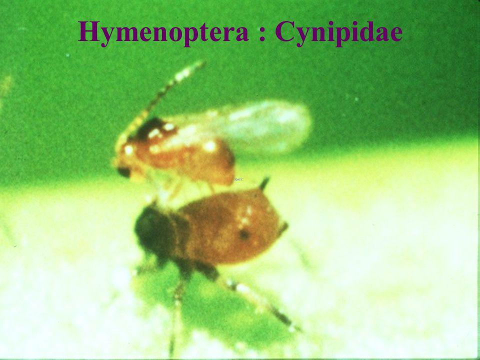 Cynipidae VS Toxoptera แตนเบียนเพลี้ยอ่อน ส้ม