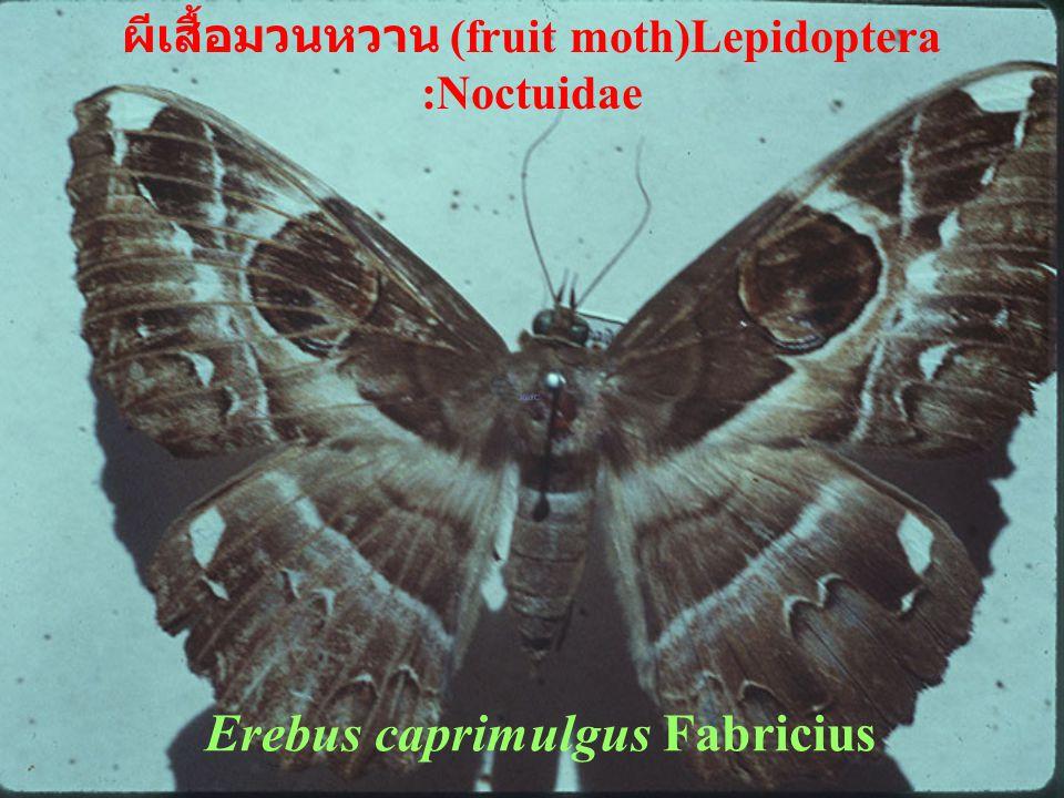 Encarsia sp. แตนเบียน Hymenoptera : Aphelinidae
