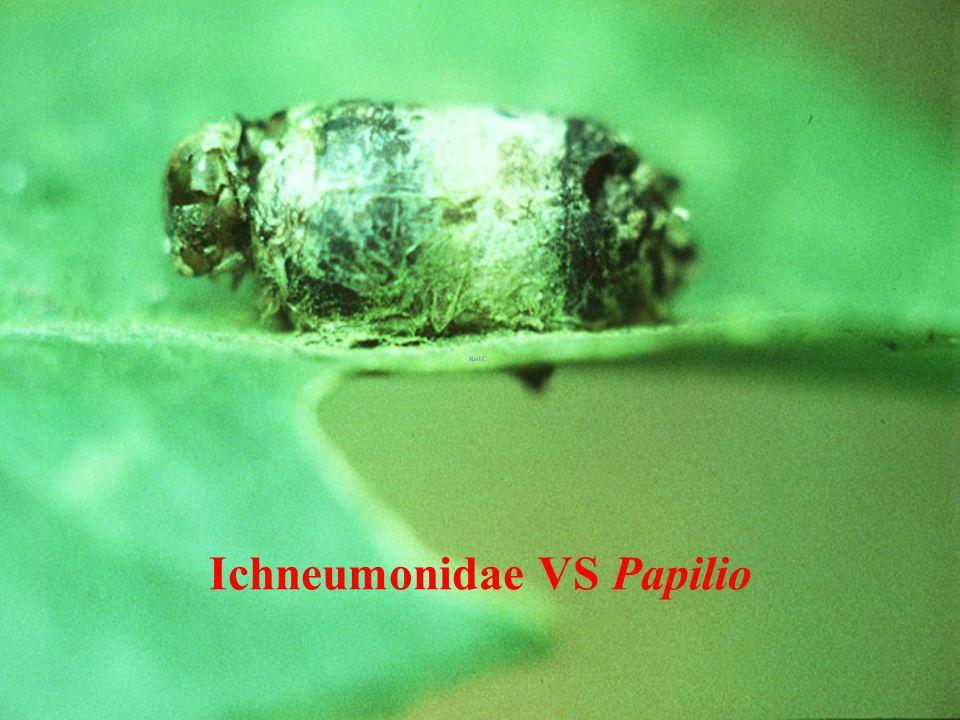 Ichneumonidae pupa