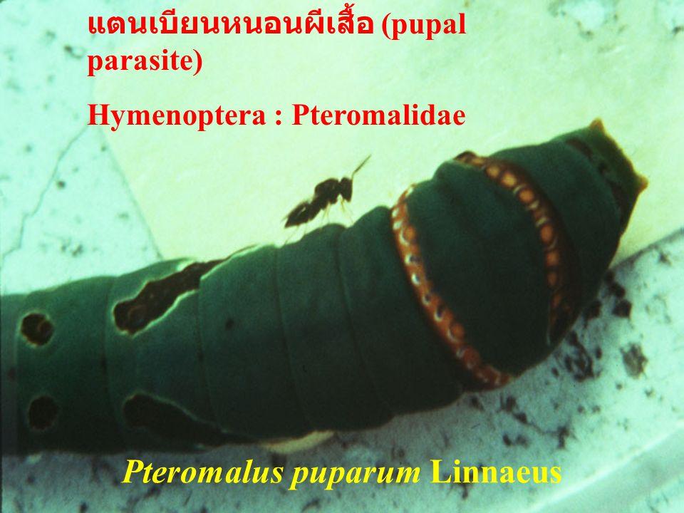 Ooencyrtus erionotae Ferr. ตัวเต็ม วัย แตนเบียนไข่ Hymenoptera : Encyrtidae แตนเบียนไข่ Hymenoptera : Encyrtidae