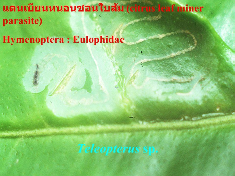 Telenomus sp. เทเลโนมัสเบียนไข่ผีเสื้อ (lepdopterous egg) Hymenoptera : Scelionidae เทเลโนมัสเบียนไข่ผีเสื้อ (lepdopterous egg) Hymenoptera : Scelioni