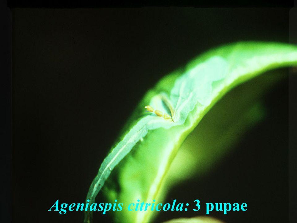 Ageniaspis citricola: 3 pupae