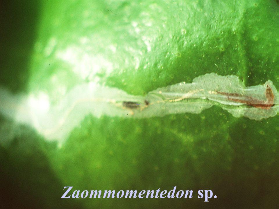 Zaommomentedon sp. Hymenoptera : Eulophidae