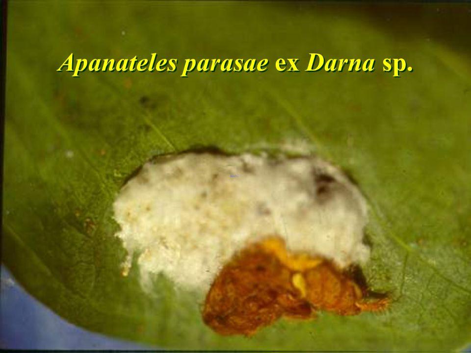 Ageniaspis citricola