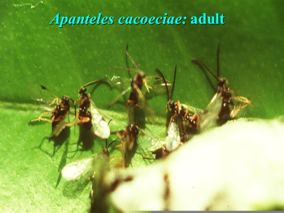Apanateles parasae ex Darna sp.