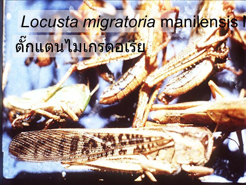 Locusta migratoria manilensis Mail,Femail ตั๊กแตนไมเกรตอเรีย