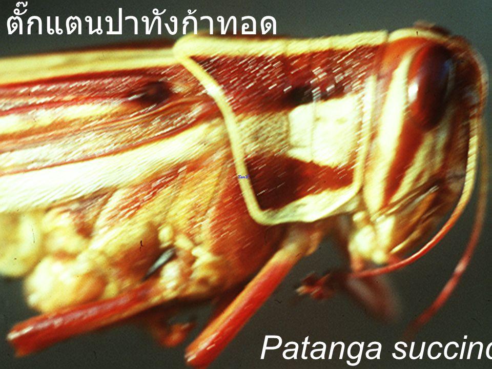 Locusta migratoria manilensis NA ตั๊กแตนไมเกรตอเรีย
