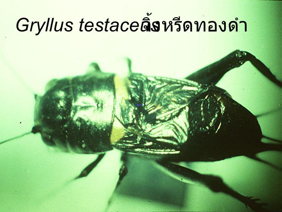 Gryllotalpa africana แมลงกระชอน