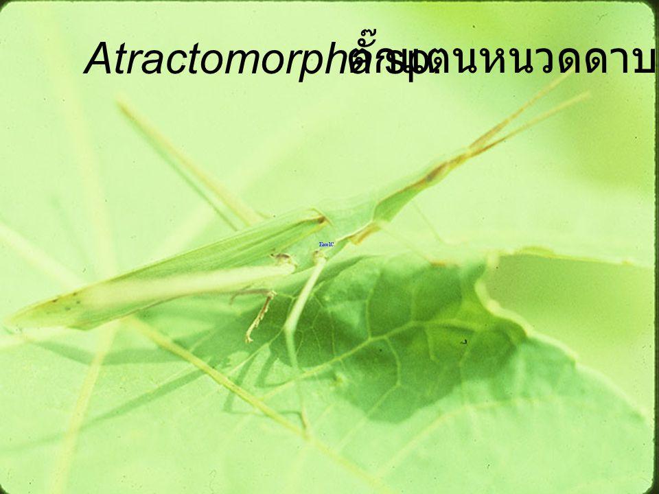 Atractomorpha sp. ตั๊กแตนหนวดดาบ