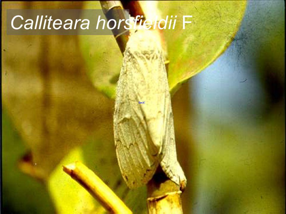 Calliteara horsfieldii F