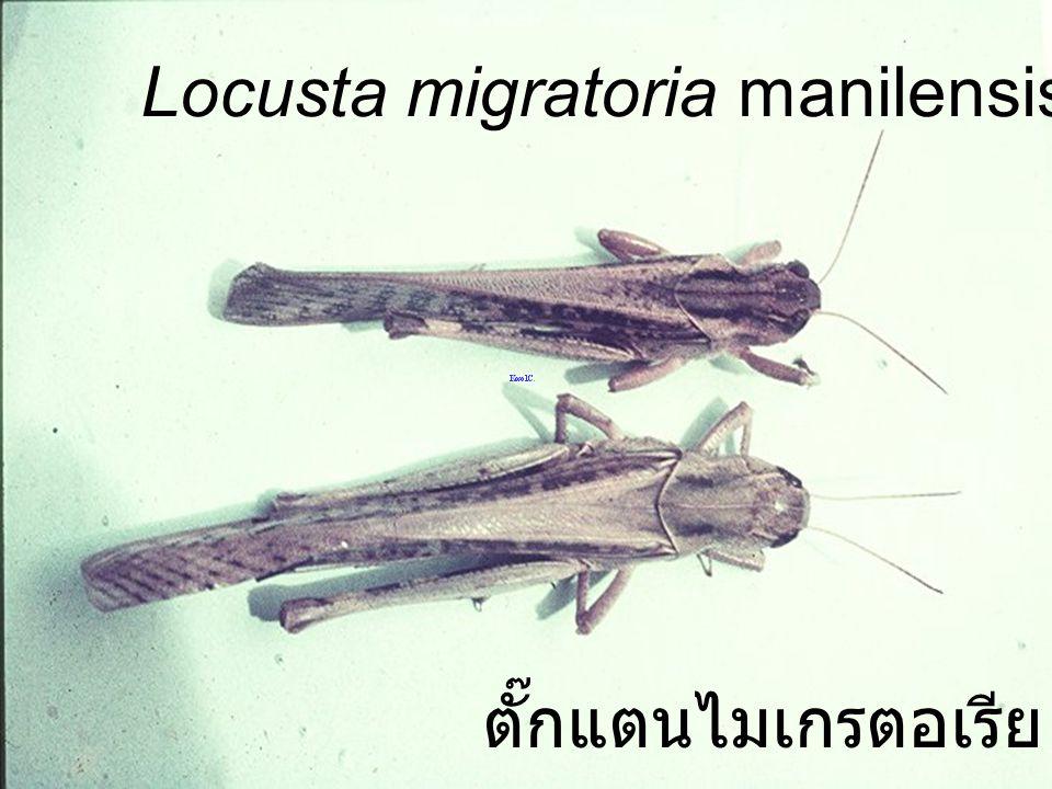 Chondracris rosia bruneri N3 castor