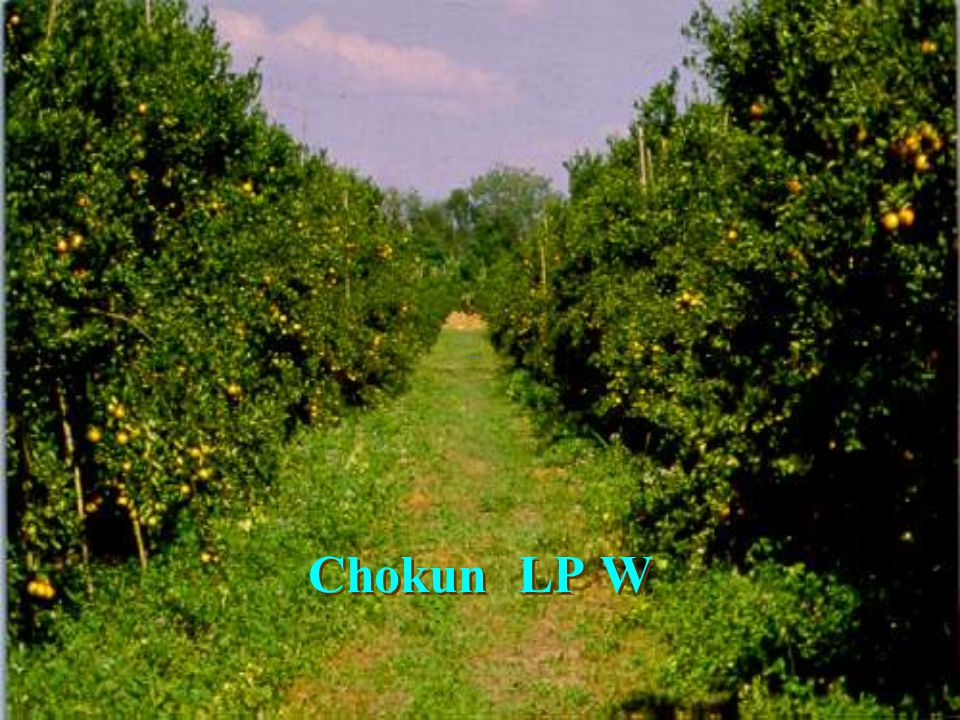 Chironomid บนดอกส้ม