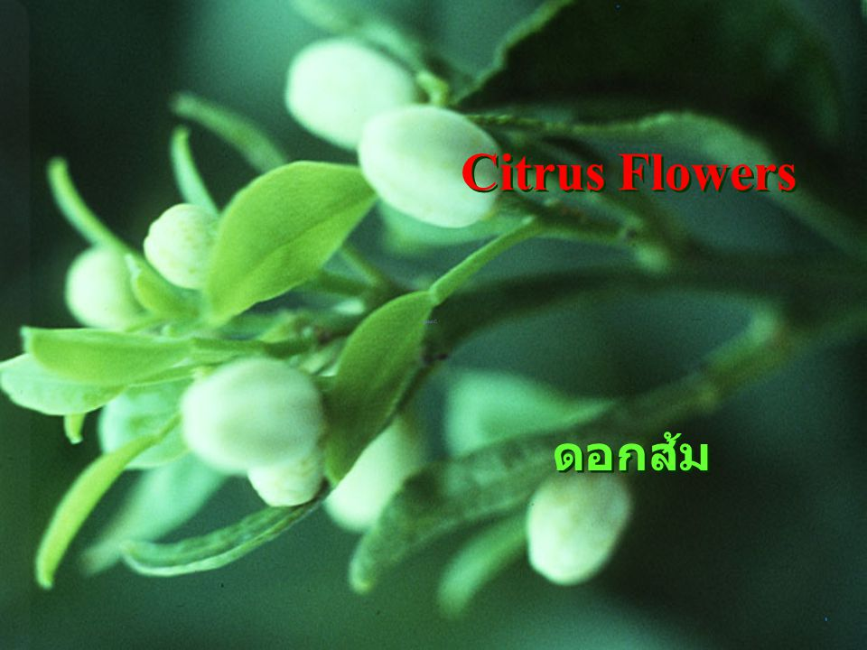 Citrus fl 5 petal ดอกส้ม มีกลีบดอก 5 กลีบ