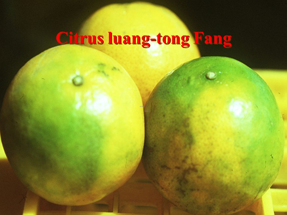 Citrus fr Pet Lanna Orchard