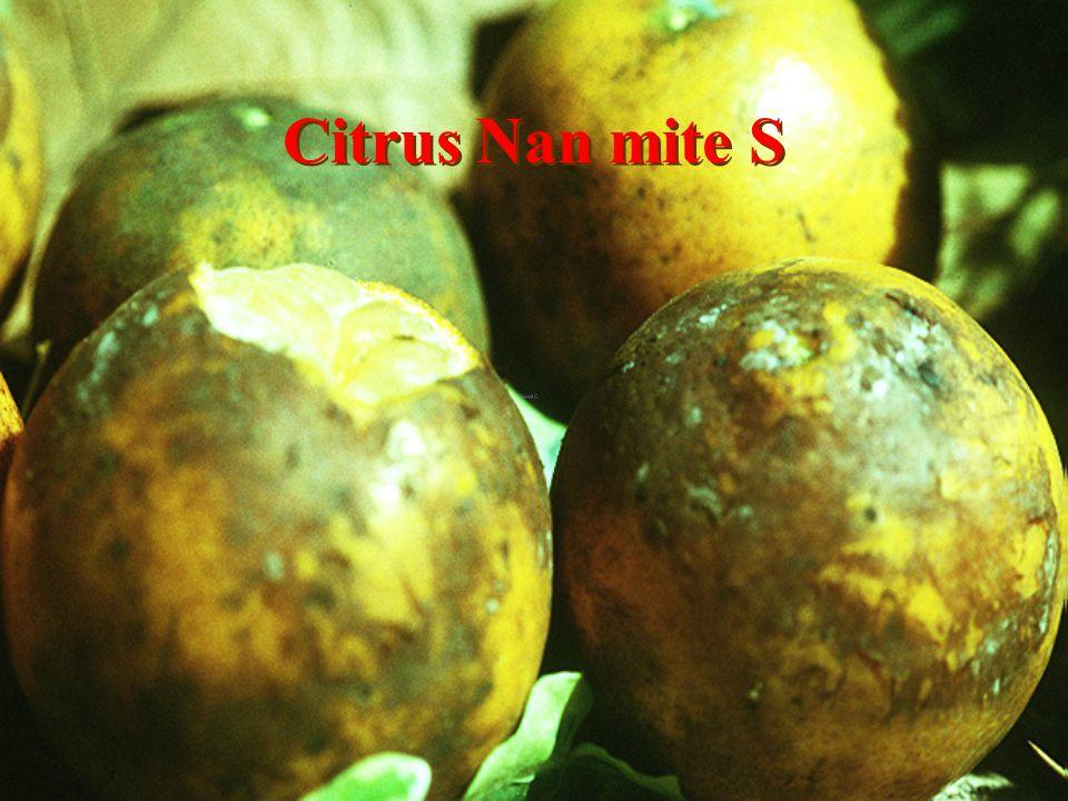 Citrus luang-tong Fang