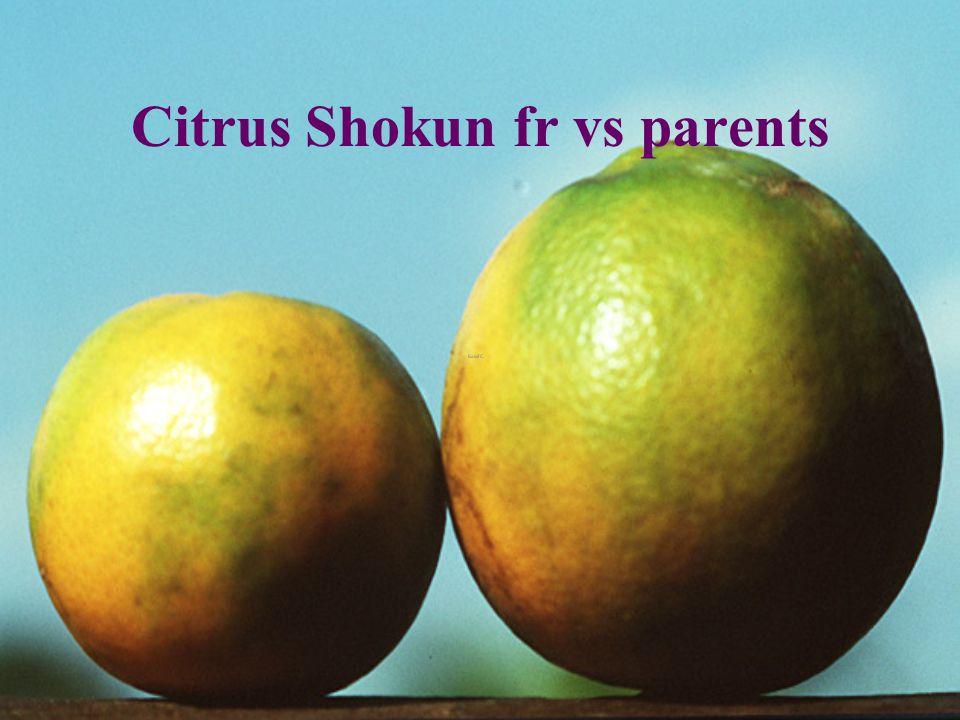 Citrus shokun 2 yr Chiang Dao