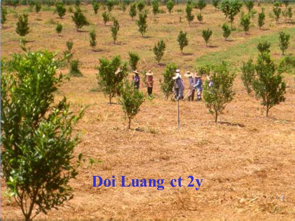 Doi Luang ct 1yr