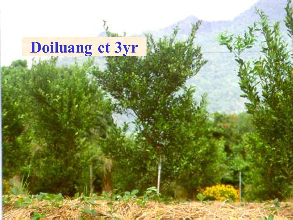 Doi Luang ct 2y