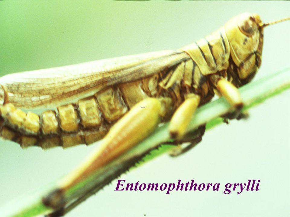 Entomophthora grylli EX Hieroglyphus
