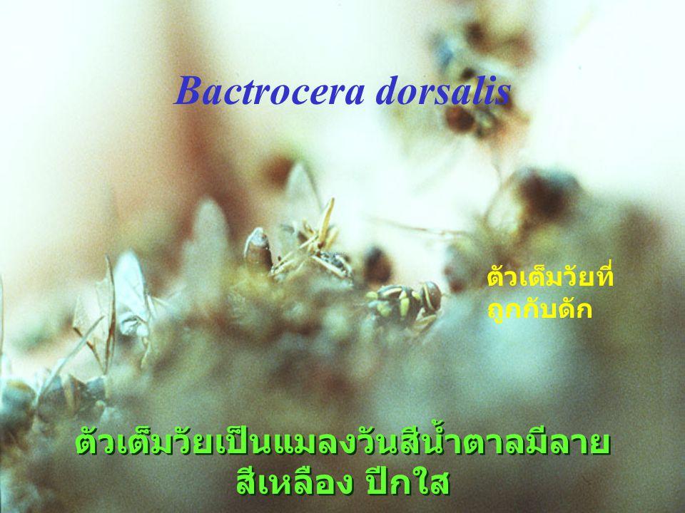 Atherigona แมลงวันเจาะยอด Diptera : Muscidae
