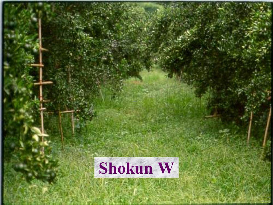 Shokun Oct 40