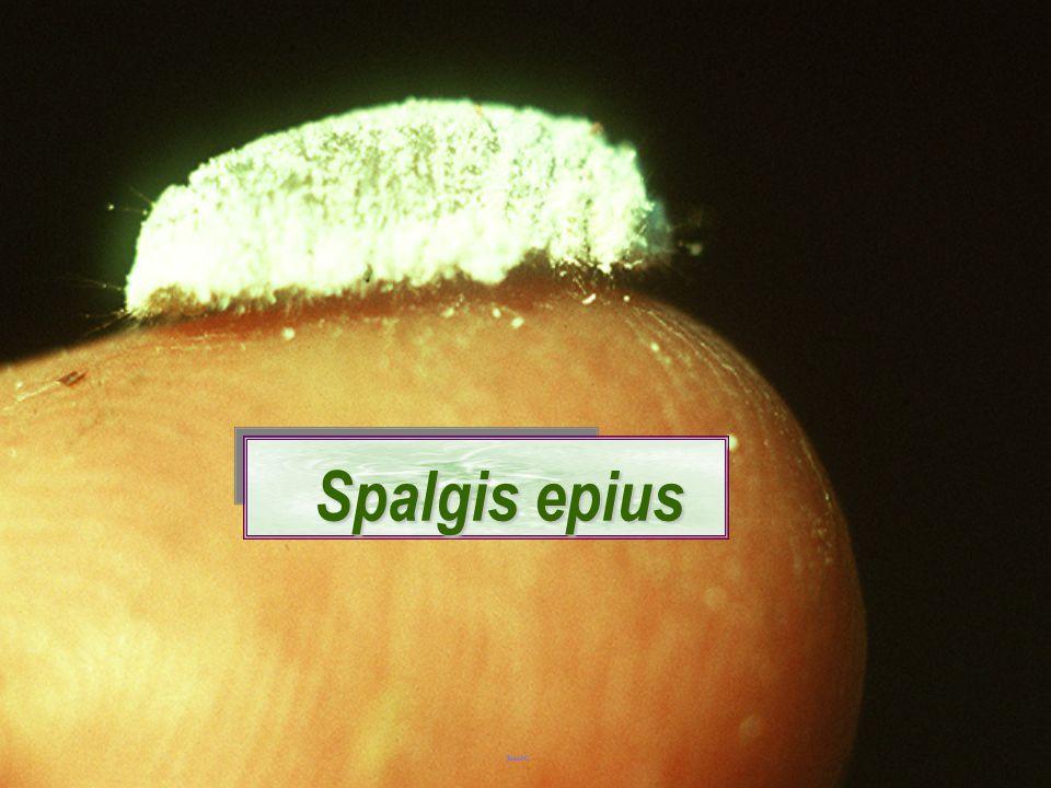 Spalgis epius epius: larva หนอนกินเพลี้ยแป้ง