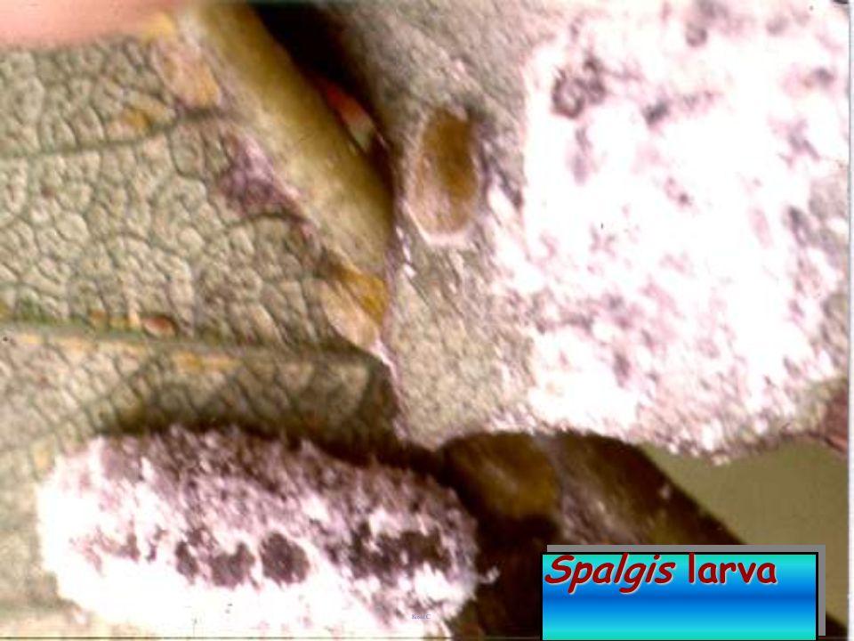 Spalgis epius: Pupa