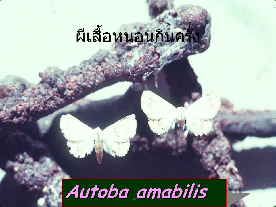 Spalgis larva