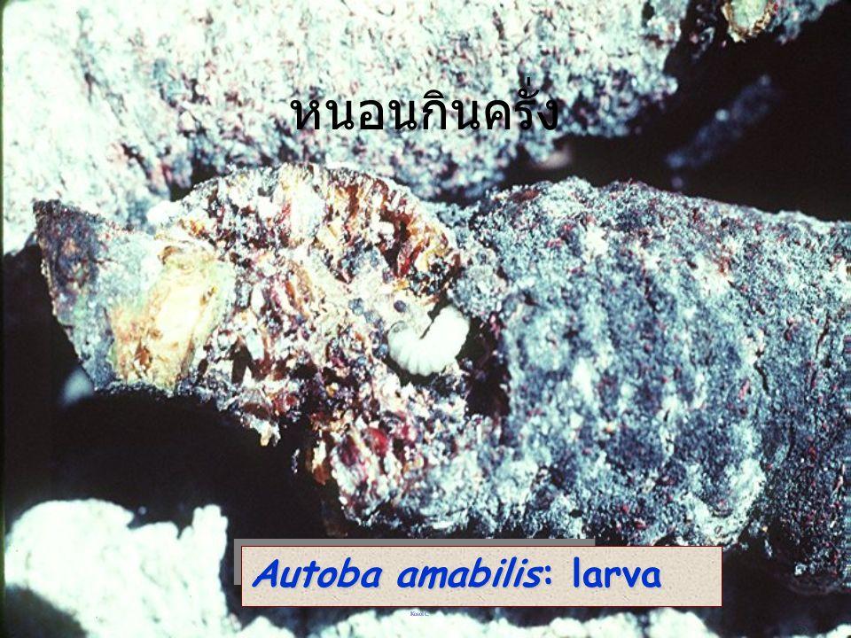 Autoba amabilis ผีเสื้อหนอนกินครั่ง
