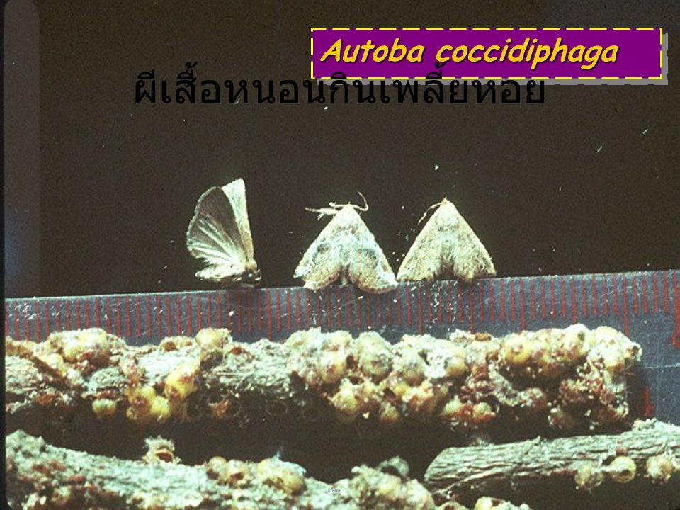 Autoba amabilis: pupa