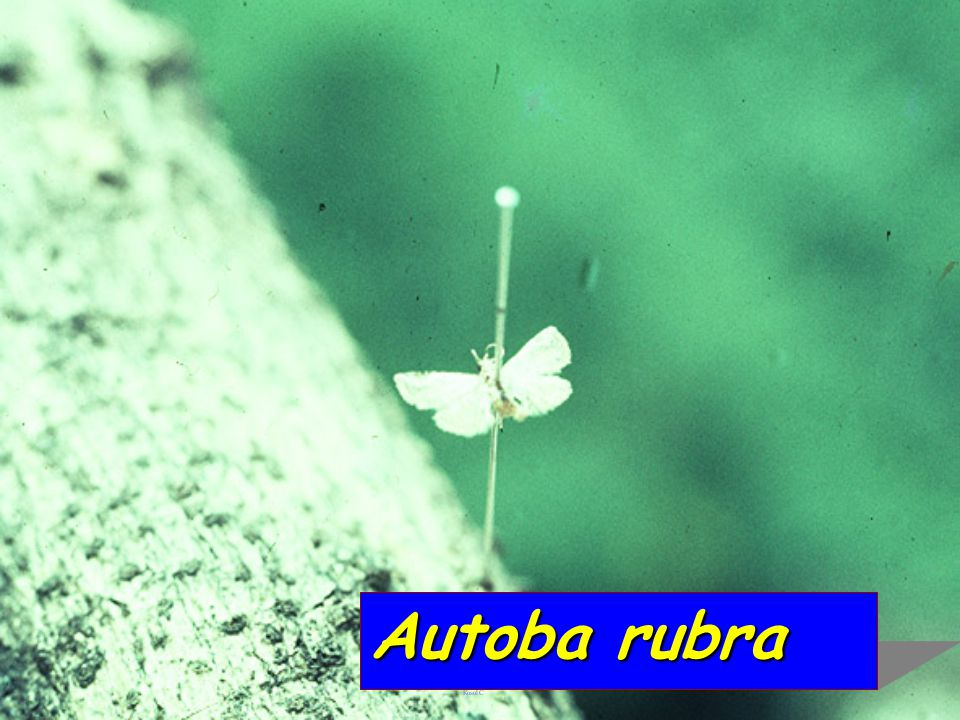 Autoba coccidiphaga vs Tachardiella decorella