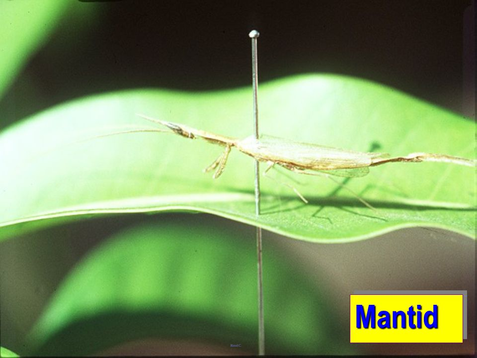 Mantid: pointed head