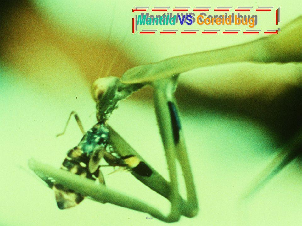 MantidaeMantidae