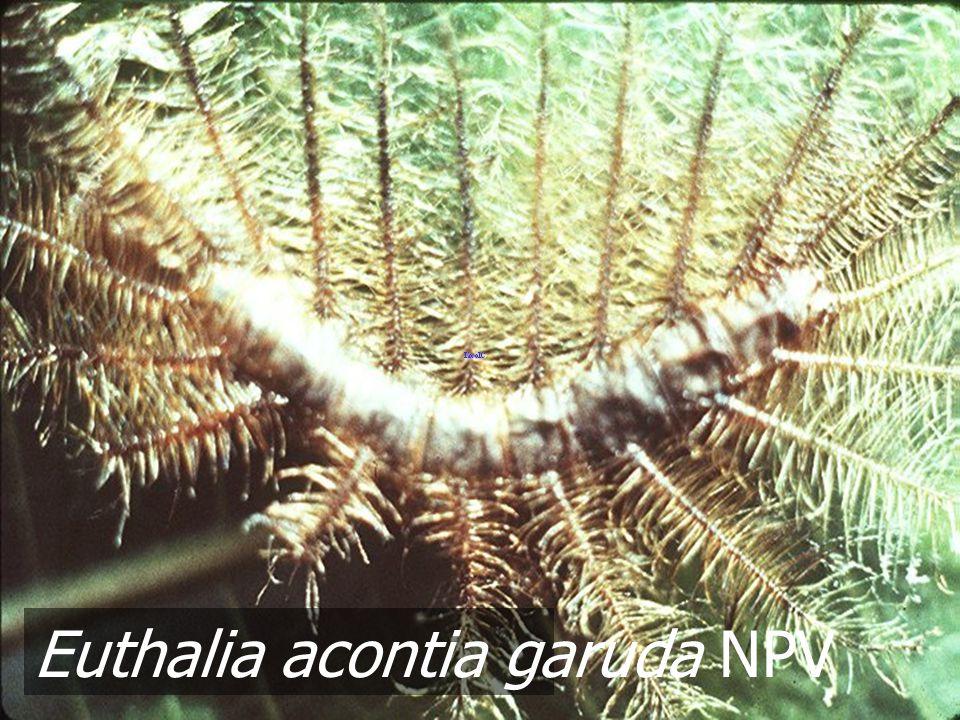 Eupterote testacea L5 NPV