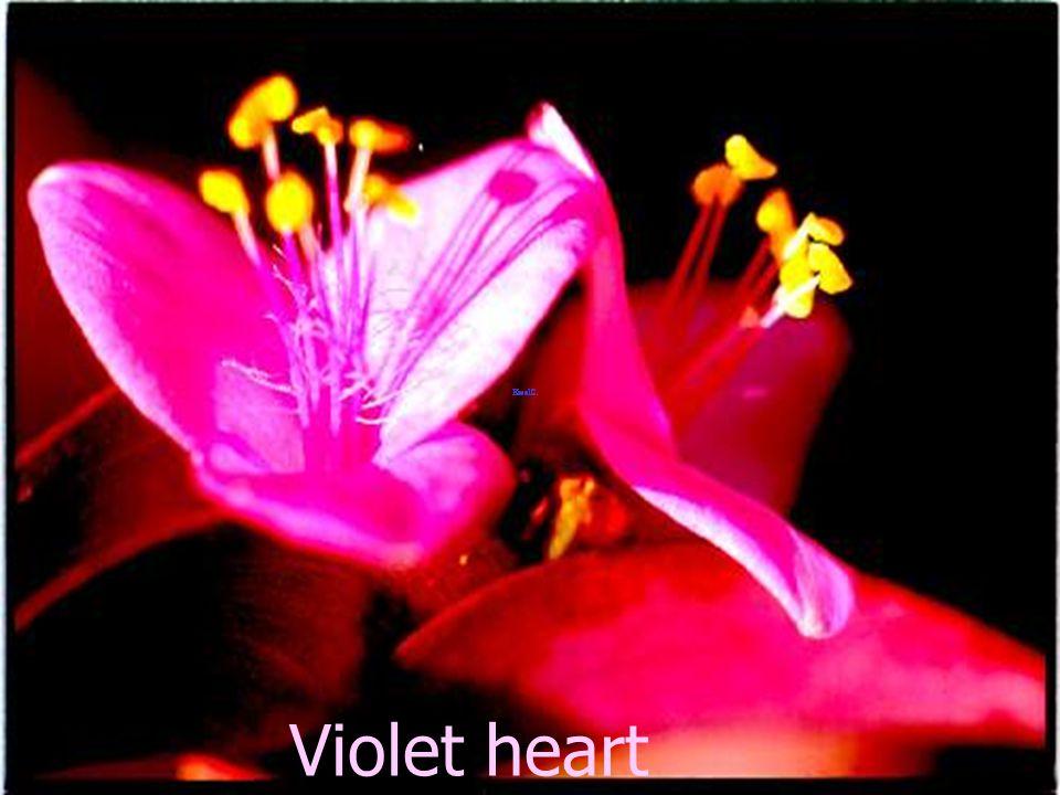 Violet fruit Pongnoi 98