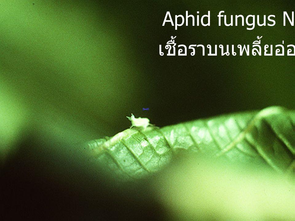 Aphid fungi เชื้อรา บนเพลี้ยอ่อน