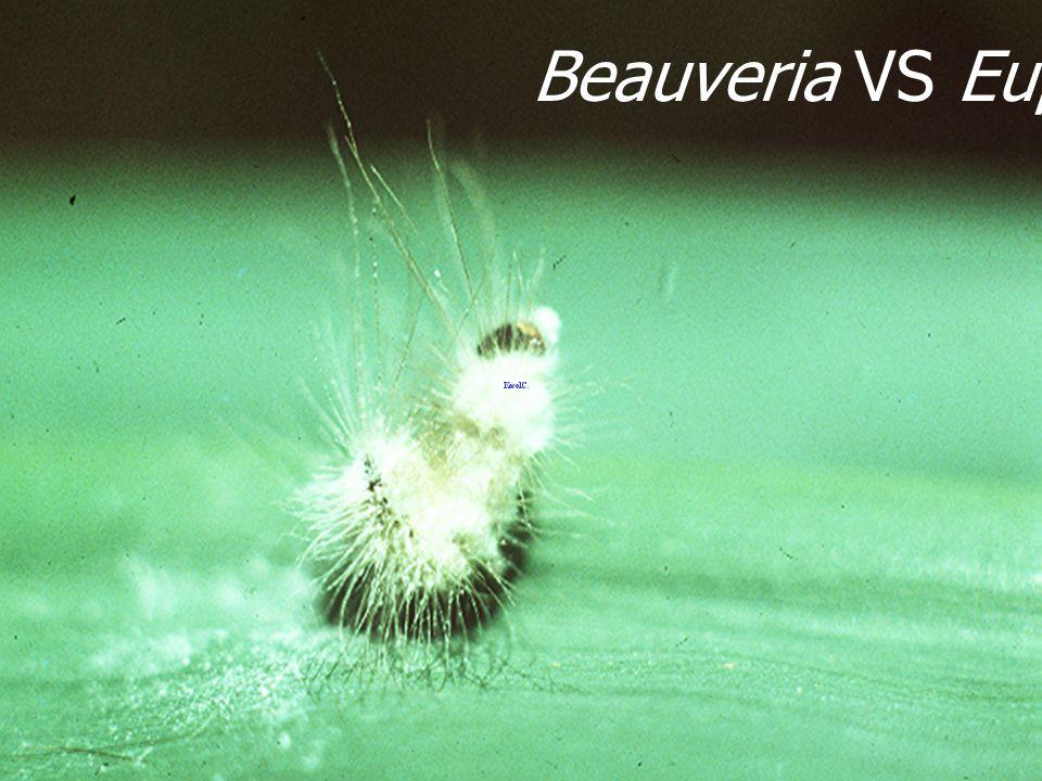 Beauveria bassiana on Eupterote testasia L3