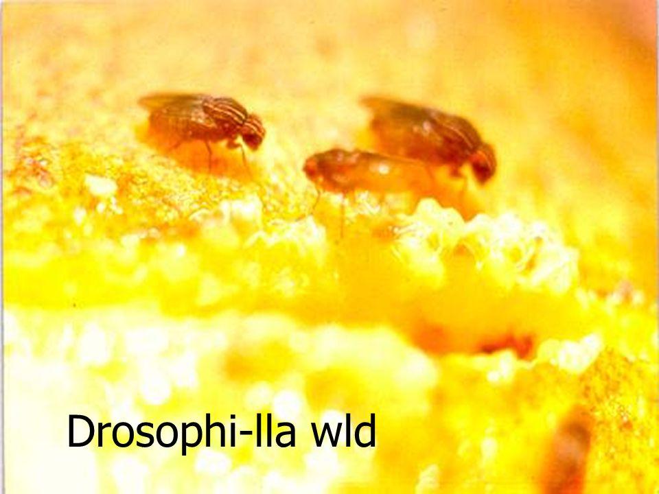 Diglyphus isaea R Miglyphus