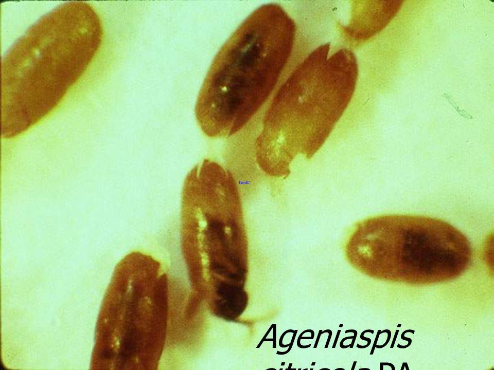Ageniaspis citricola 18 PA